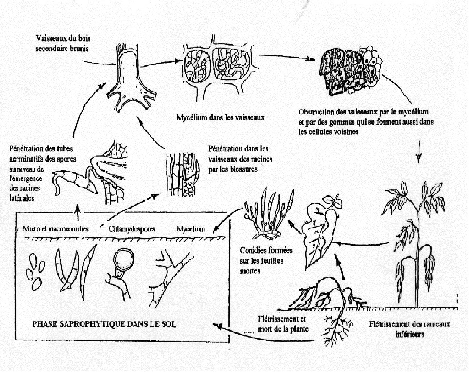 Figure 3: Cycle infectieux de Fusarium Solani (Agrios, 1997).