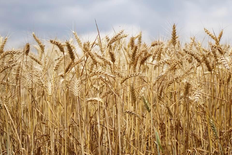 Conditions de développement des graines de blé
