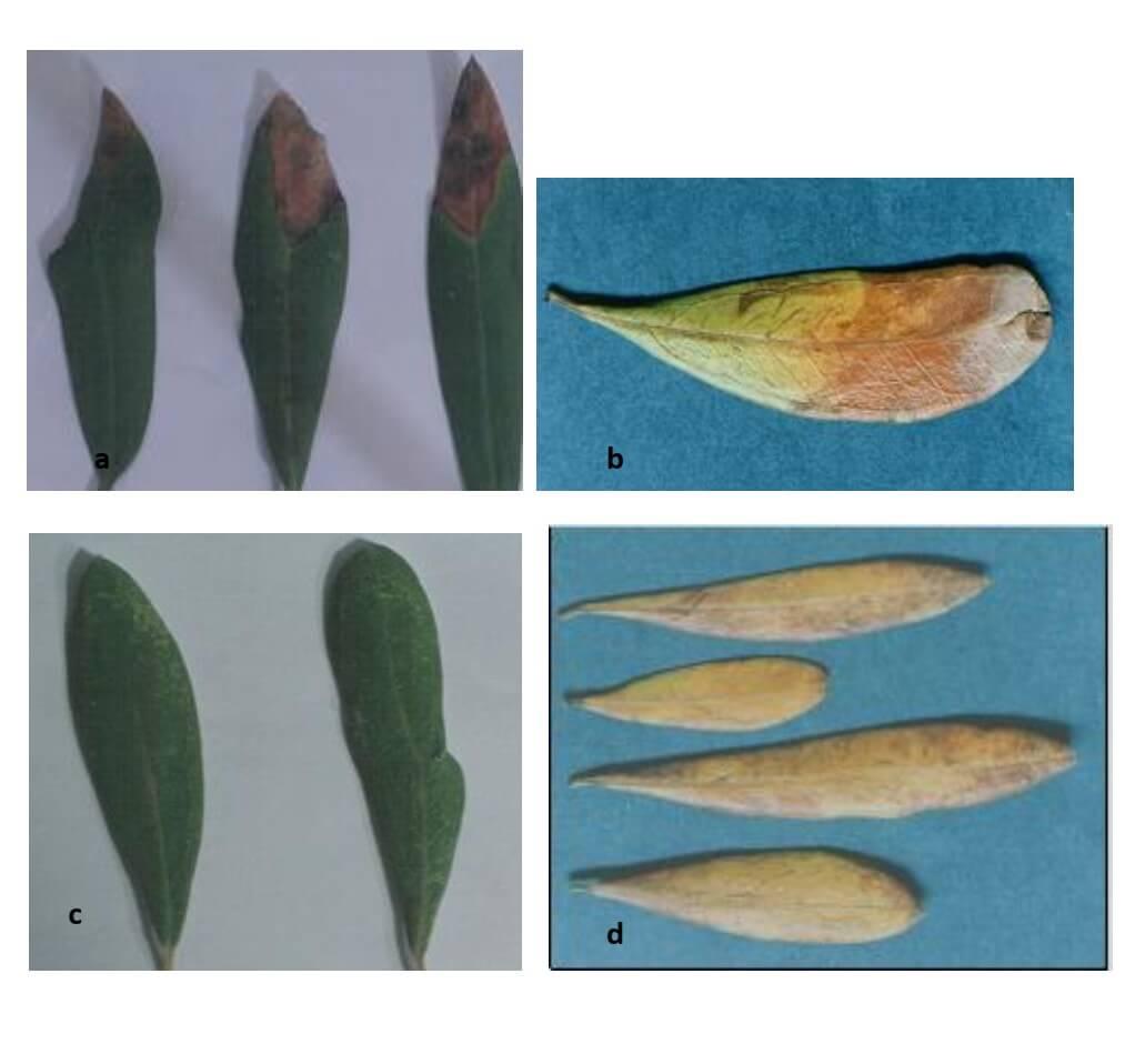 Fig.2 : Carences observées sur les feuilles. (Source : Yakoub-Bougdal, 2005)  a- Carence en potassium. b- Carence en bore  c Carence en phosphore d- Carence en azote