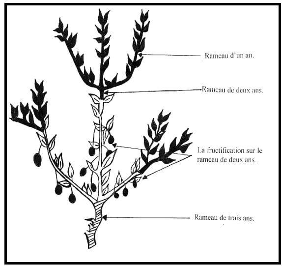 Fig. 3- Schéma d'un rameau fructifère de l'olivier. D'après Loussert et Brousse, 1978.