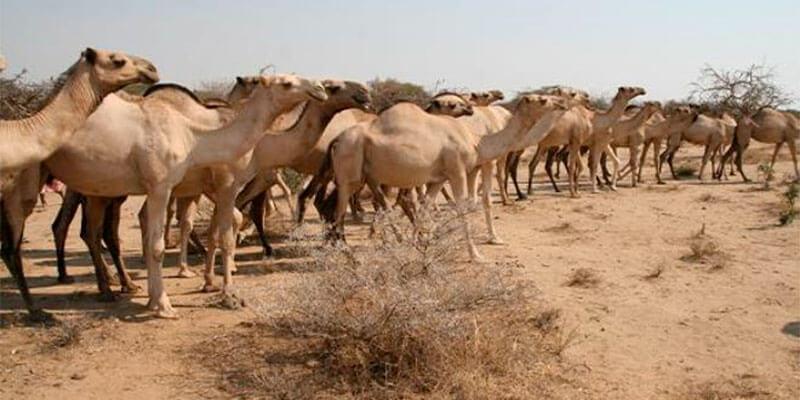 Production laitière dans les wilayas du sud